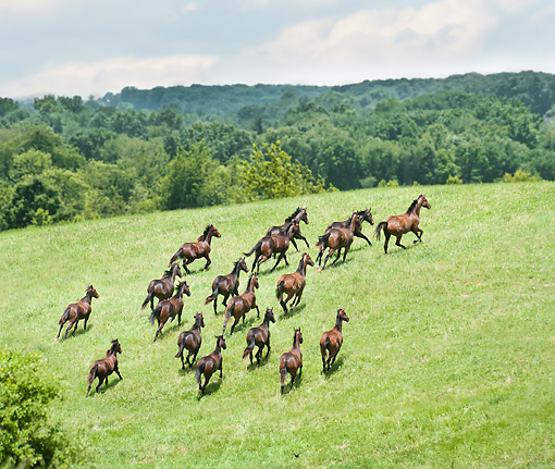 HOR 01 MB0370 01 © Kimball Stock Herd Of Yearling Thoroughbred Horses Galloping Across Hillside