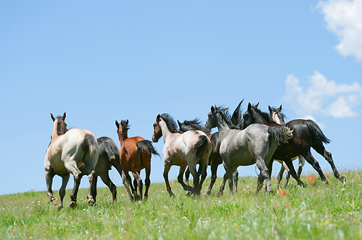 HOR 01 MB0372 01 © Kimball Stock Herd Of Yearling Quarter Horses Galloping Through Prairie