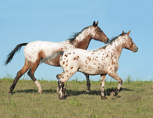 HOR 01 MB0376 01 © Kimball Stock Two Tiger Horses Walking Through Field
