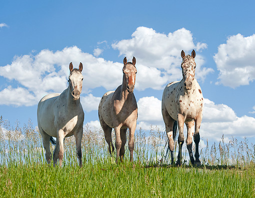 HOR 01 MB0377 01 © Kimball Stock Three Tiger Horses Standing In Tall Grass