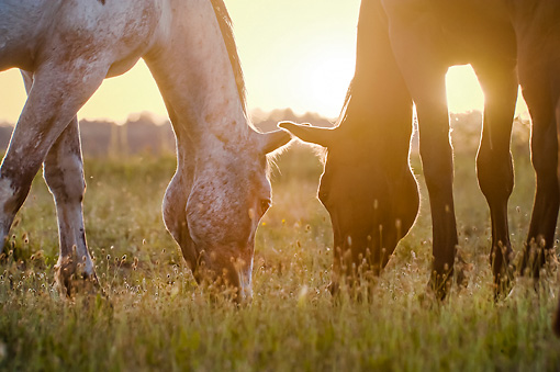 HOR 01 MB0380 01 © Kimball Stock Close-Up Of Two Tiger Horses Grazing In Meadow At Sunset