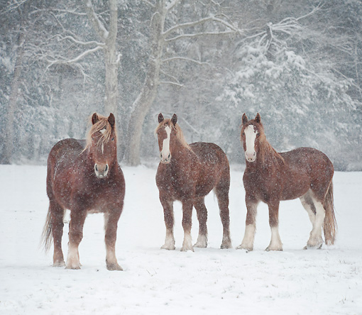 HOR 01 MB0381 01 © Kimball Stock Belgian And Shire Draft Horses Standing In Snow Storm