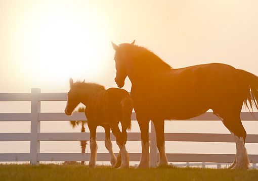 HOR 01 MB0382 01 © Kimball Stock Silhouette Of Shire Draft Horse Mare And Foal Standing By Fence In Pasture