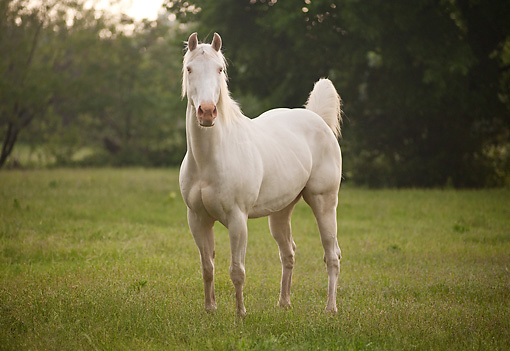 HOR 01 MB0386 01 © Kimball Stock Cremello Stallion Standing In Field