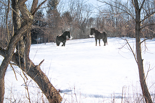 HOR 01 MB0398 01 © Kimball Stock Two Friesian Horses Standing In Snow With Breath Steaming From Nostrils