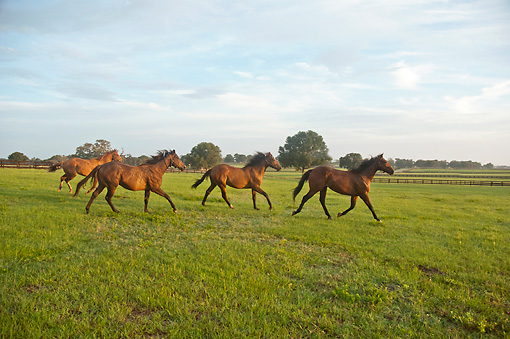 HOR 01 MB0407 01 © Kimball Stock Group Of Thoroughbred Yearlings Playing In Open Paddock
