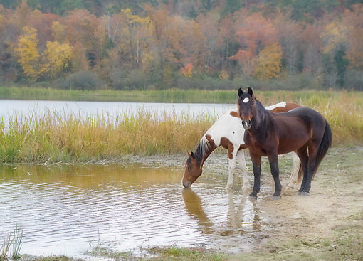HOR 01 MB0410 01 © Kimball Stock Two Horses Drinking From Pond At Proud Spirit Horse Sanctuary, Arkansas