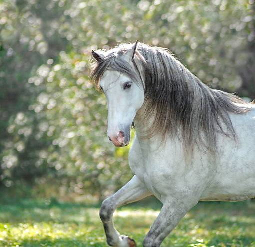 HOR 01 MB0414 01 © Kimball Stock Portrait Of Andalusian Stallion