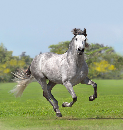 HOR 01 MB0415 01 © Kimball Stock Andalusian Stallion Galloping On Grass