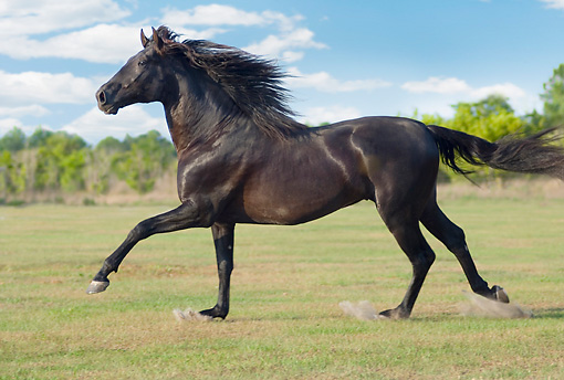 HOR 01 MB0420 01 © Kimball Stock Black Andalusian Stallion Cantering Through Pasture