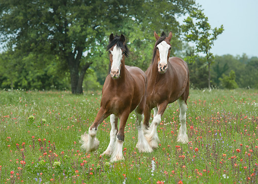 HOR 01 MB0423 01 © Kimball Stock Two Clydesdale Draft Horse Geldings Trotting Through Wildflowers
