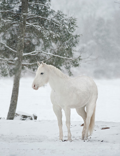 HOR 01 MB0427 01 © Kimball Stock White Horse Standing In Snow