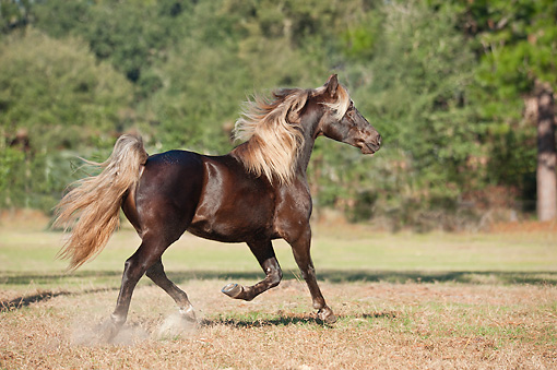 HOR 01 MB0429 01 © Kimball Stock Missouri Fox Trotter Stallion Cantering Through Pasture