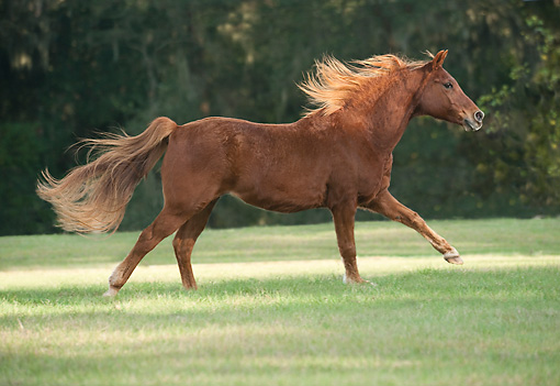 HOR 01 MB0430 01 © Kimball Stock Elderly Arabian Horse Running Through Field