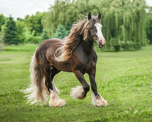 HOR 01 MB0435 01 © Kimball Stock Gypsy Vanner Horse Trotting Daintily Over Green Grass