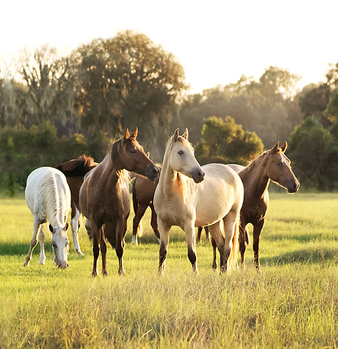 HOR 01 MB0437 01 © Kimball Stock Mixed Herd Of Mares Grazing In Pasture In Late Afternoon