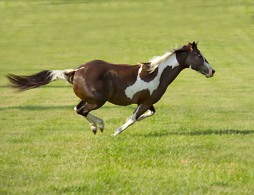 HOR 01 MB0440 01 © Kimball Stock American Paint Horse Speeding Across Field