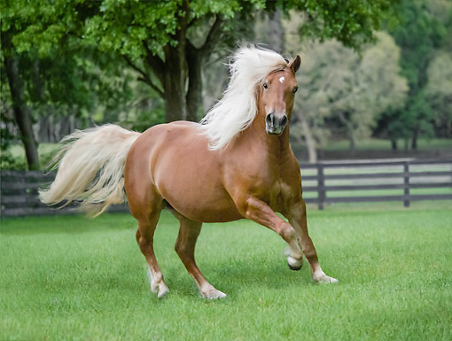 HOR 01 MB0448 01 © Kimball Stock Haflinger Filly Trotting About In Field