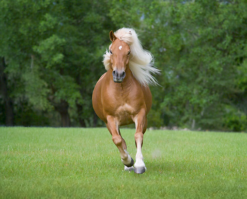HOR 01 MB0449 01 © Kimball Stock Haflinger Filly Bouncing About In Field