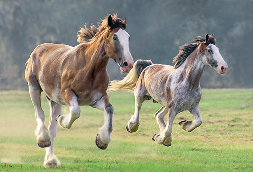 HOR 01 MB0452 01 © Kimball Stock Two Clydesdale Draft Horses Charging Over Grass