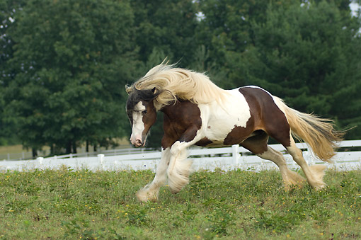 HOR 01 MB0459 01 © Kimball Stock Gypsy Vanner Horse Playing In Pasture