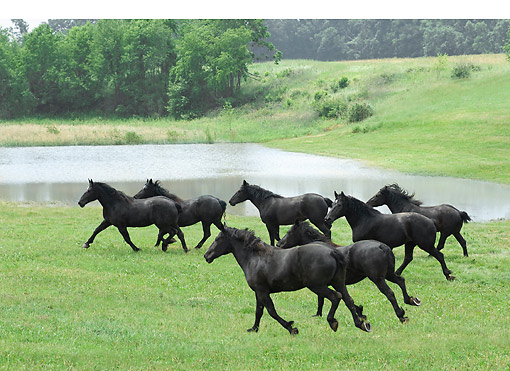 HOR 01 MB0460 01 © Kimball Stock Herd Of Black Percheron Draft Horses Making Their Way Across Grassy Meadow