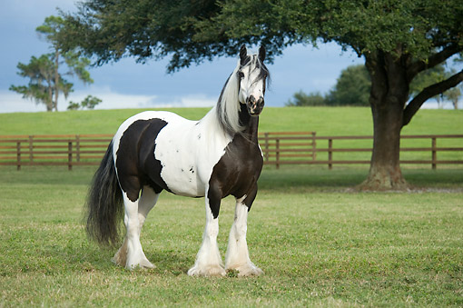 HOR 01 MB0461 01 © Kimball Stock Gypsy Vanner Horse Mare Looking Serious On Serene Pasture