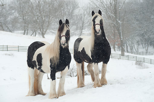 HOR 01 MB0462 01 © Kimball Stock Gypsy Vanner Horses In Snowy Woodlands