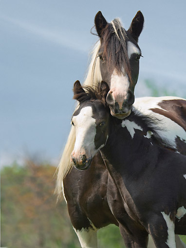 HOR 01 MB0463 01 © Kimball Stock Gypsy Vanner Horse Mare And Foal Snuggling