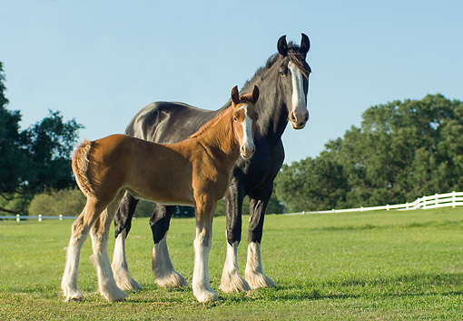 HOR 01 MB0464 01 © Kimball Stock Shire Draft Horse Mare With Rare Sorel-Colored Foal Standing In Field