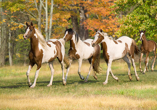 HOR 01 MB0467 01 © Kimball Stock Three Pinto Arabian Horses With One Foal Trotting Through Meadow
