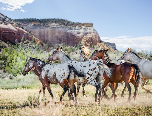 HOR 01 MB0470 01 © Kimball Stock Tiger Horses Traversing The Desert