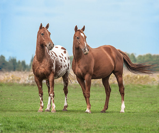 HOR 01 MB0473 01 © Kimball Stock Appaloosa And Quarter Horse Stand Valiantly In Open Field
