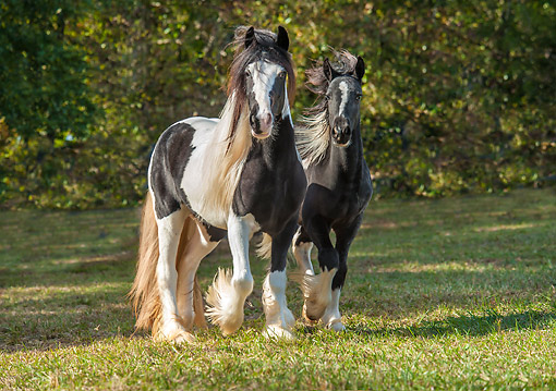 HOR 01 MB0478 01 © Kimball Stock Gypsy Vanner Horse Filly With Weanling Colt Trotting In Shade