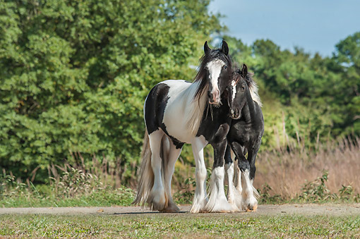 HOR 01 MB0479 01 © Kimball Stock Gypsy Vanner Horse Filly With Weanling Colt Standing Under Trees