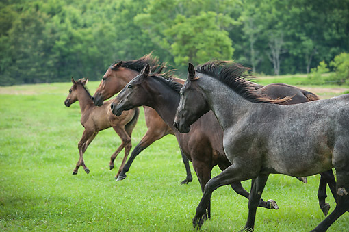 HOR 01 MB0482 01 © Kimball Stock Blue Roan Horses And Foal Frolicking Across Meadow