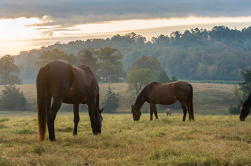 HOR 01 MB0486 01 © Kimball Stock Horses Graze Under Gray Clouds And Solar Whiteness