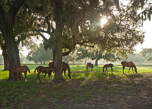 HOR 01 MB0494 01 © Kimball Stock Thoroughbred Mares And Foals Under Glistening Mossy Oak Trees