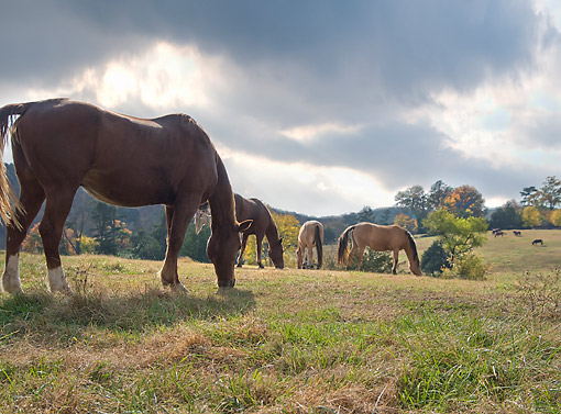 HOR 01 MB0496 01 © Kimball Stock Horses Grazing Under Gathering Clouds