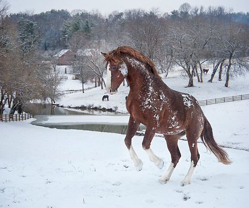 HOR 01 MB0499 01 © Kimball Stock Warmblood Stallion Kicking Up On Snowy Farm