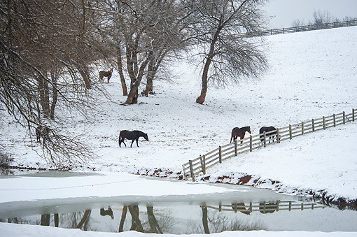 HOR 01 MB0500 01 © Kimball Stock Horses In Snowy Pasture