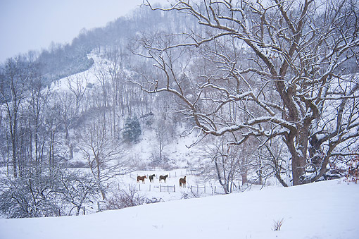 HOR 01 MB0501 01 © Kimball Stock Horses In Snowy Pasture