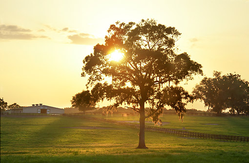 HOR 01 MB0503 01 © Kimball Stock Sun Bursting Through Mossy Tree On Horse Farm