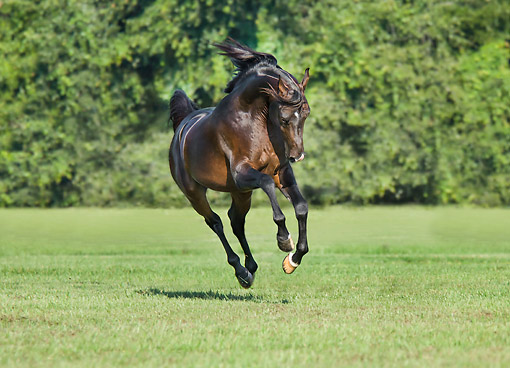 HOR 01 MB0504 01 © Kimball Stock Arabian Horse Stallion Galloping In Grass