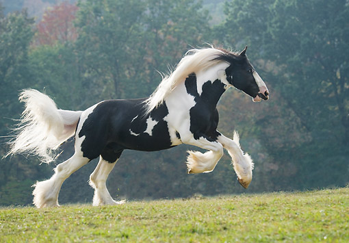HOR 01 MB0505 01 © Kimball Stock Drum Horse Stallion Galloping Steadily Through Forest