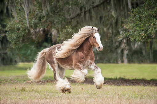 HOR 01 MB0506 01 © Kimball Stock Gypsy Vanner Horse Stallion Riding Through Enchanted Forest