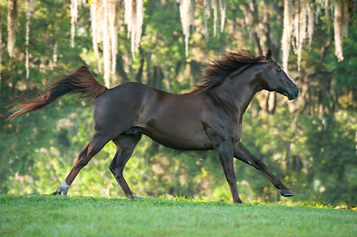 HOR 01 MB0507 01 © Kimball Stock Thoroughbred Horse Stallion Charging Through Sunny Forest