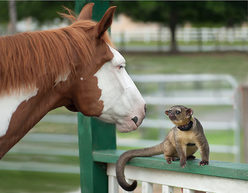 HOR 01 MB0514 01 © Kimball Stock Horse and Kinkajou Meeting For The First Time