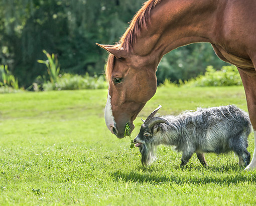 HOR 01 MB0515 01 © Kimball Stock Stallion Sharing Lunch With Pygmy Goat