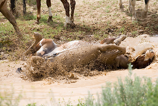 HOR 01 RD0001 01 © Kimball Stock Mustang Stallion Rolling In Muddy Water